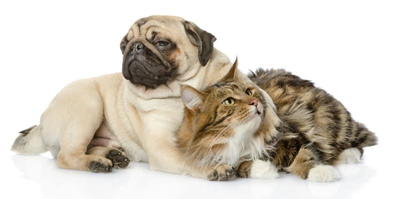 Pug Dog Hugging Cat